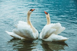 two swans in lake love dance