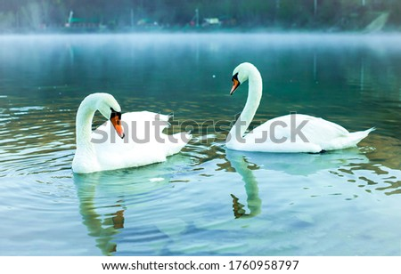 Two swans in water view