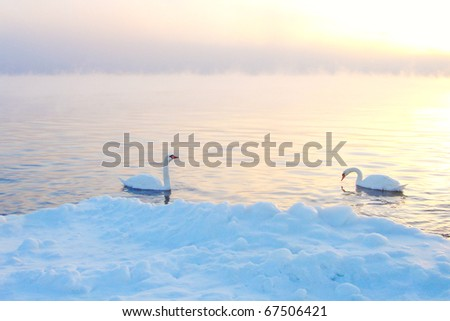 Two Swans In Winter