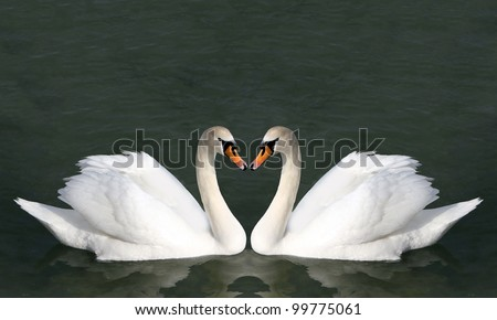 Two swans on the water. Birds represent heart as a wedding and love symbol .