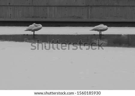 two swans standing synchronously and relaxing on the ice edge on a lake downtown in Oslo, the Capital of Norway. Black and white photo #1560185930