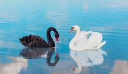 Two swans swiming together in calm blue water - Black and White swan   - Black and White swan with reflection on water