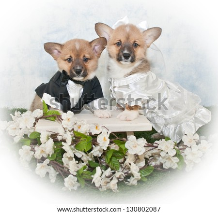 Two sweet bride and groom Corgi puppies all dressed up for a wedding, with and outdoor scene and white flowers all around them.
