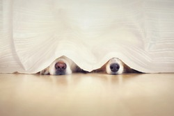 Two sweet dog noses looks out under a curtain