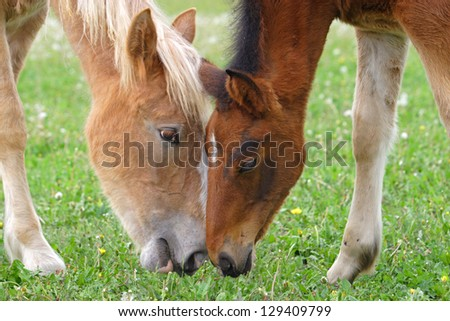 Two sweet young horses is eating green grass