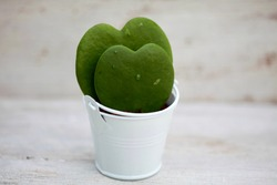 Two sweetheart hoya plants, also known as Valentine plant, sweetheart wax plant or hoya kerrii, in a small white pot.  A couple of heart shaped plants one smaller than the other in the same pot.