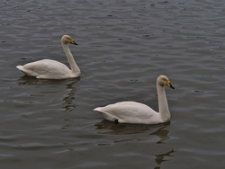 Two swimming whooper swan birds (cygnus cygnus, common swan) with white plumage and yellow colored beaks in the turbid water of Tjörnin lake in Reykjavík, capital of Iceland, in late winter.