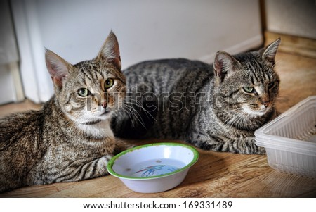 Two tabby cat sitting near empty bowl.