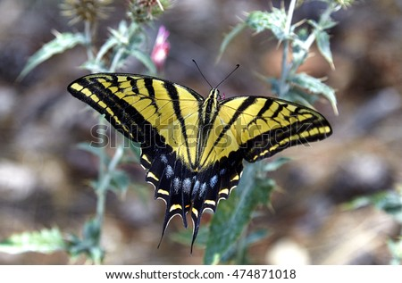 Two tailed Swallowtail butterfly collecting nectar from flower