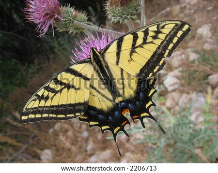 two-tailed swallowtail butterfly (Papilio multicaudata) on thistle
