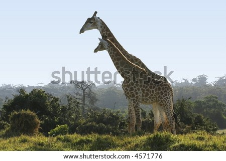 two tall giraffes standing together next to some bushes