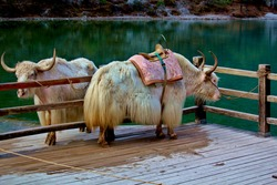 Two tamed white yaks waiting to be mounted