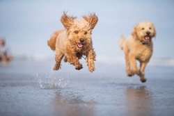 Two tan Goldendoodle dogs running and playing in ocean