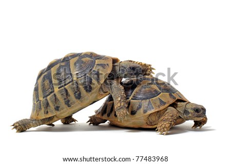 Two Testudo hermanni tortoises having sex on a white isolated background
