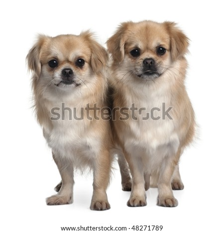 Two Tibet Spaniels, 2 Years Old, standing in front of white background #48271789