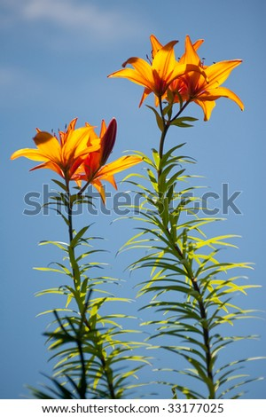 two tiger lily plants reaching toward the sky with blue behind