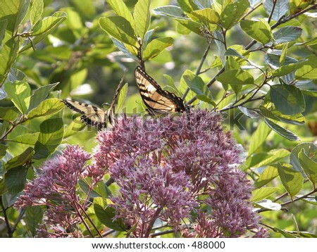 Two Tiger Swallowtails on a Joe Pye weed along a country road in West Virginia