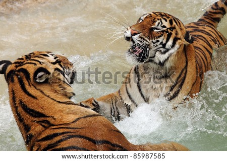 two tigers fighting in the water