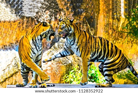 Stock Photo Two tigers play. Tiger fight and play together. Two tigers poster