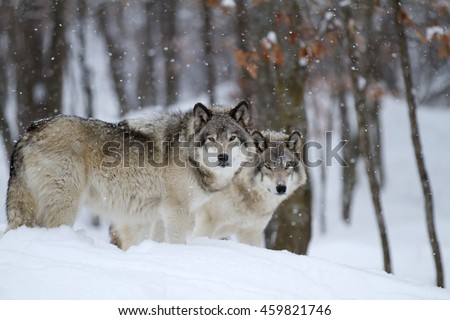 Stock Photo Two Timber wolves or grey wolves (Canis lupus) in a forest standing beside each other in the winter snow in Canada as the snow falls