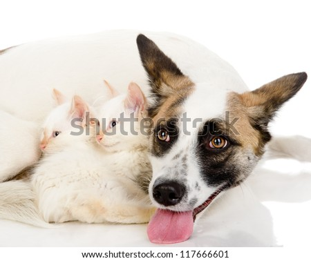 two tiny kittens sleep near a big dog. isolated on white background