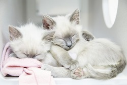 Two tiny little Siamese kittens sleeping and cuddling and hugging each other