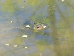 Two toads mating in the water