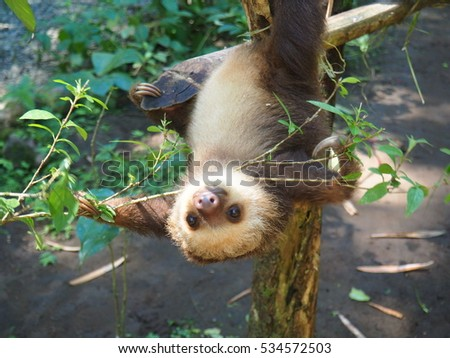 Two toed sloth, baby