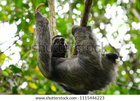Two toed sloth climbing through the rain forest in Manuel Antonio National Park Costa Rica