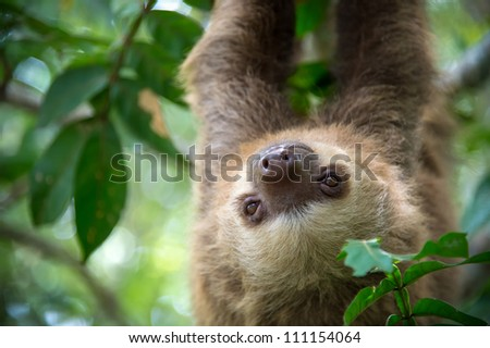 Two-toed sloth hanging from a tree in the jungle in Costa Rica.
