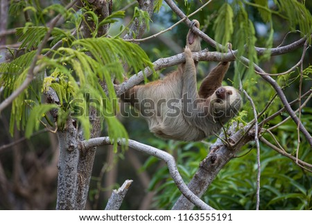 Two-Toed Sloth hanging out on a high branch in Costa Rica