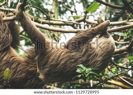Two-Toed Sloth in Puerto Viejo, Costa Rica