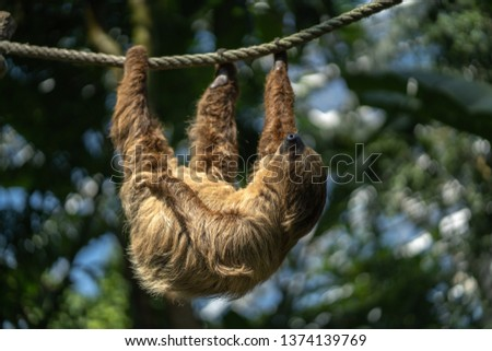 Two-toed sloth is hanging on the rope in the Zoo. Sloth sleeping holding with three paws.