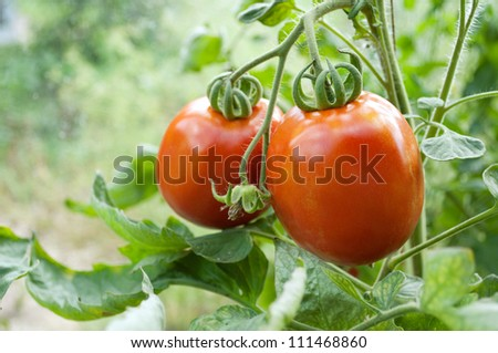 Two tomatoes on a vegetable bed.