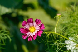 Two toned pink sea shell cosmos flower flower outdoors.