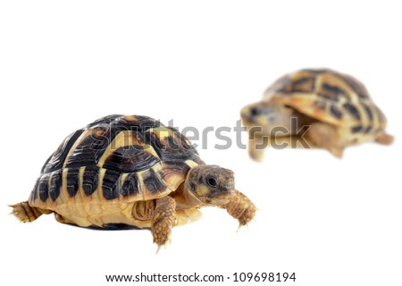 Two tortoises isolated on a white isolated background, focus on the first