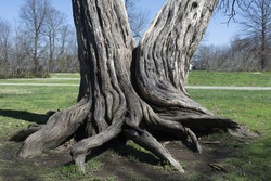 Two trees growing together with roots and trunks intertwined