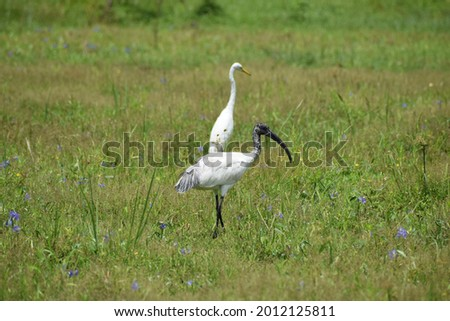Two triggers in  the paddy fiels in Sri Lnka . capture at Galle , Sothern province in Sri Lanka on January  26 in 2021 Foto stock ©