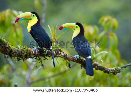 Two tropical birds with enormous beak,Keel-billed toucan, Ramphastos sulfuratus, perched on a mossy branch in the rain against rainforest background.Costa Rican colorful toucan,wildlife photography.