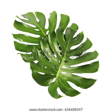 Shutterstock Two Tropical jungle Monstera leaves isolated, Swiss Cheese Plant, isolated on white background, with clipping path