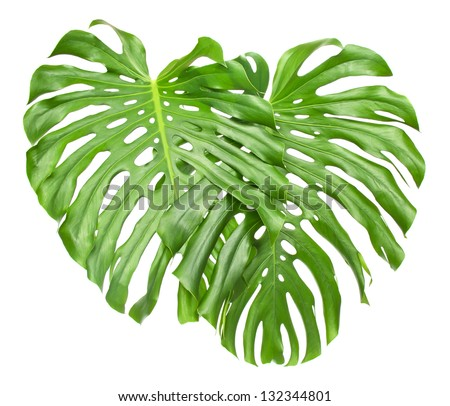 Two tropical leaves isolated on white
