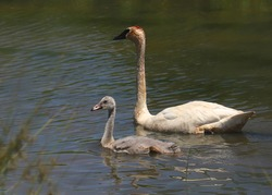 Two trumpeter swans (adult and cygnet)