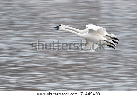 Two Trumpeter Swans (Cygnus buccinator) Fly By - panning