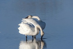 two trumpeter swans in love pose after preening in a calm peaceful lake