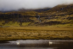 Two Trumpeter Swans in Southern Iceland Pond with waterfall in the background