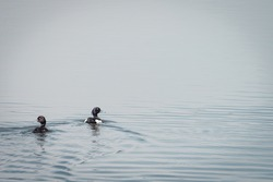Two tufted ducks swimming in the water, protected bird species, protected nature area, travel location, Dutch wildlife, beautiful little bird, volgermeerpolder Amsterdam