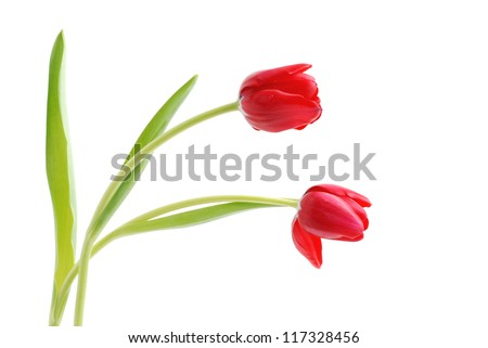 Two tulips on white background