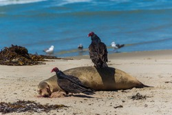 Two turkey vultures (Cathartes aura) eating dead harbor seal (Phoca vitulina) on the sandy beach of Pacific ocean in Marina, Monterey county, California