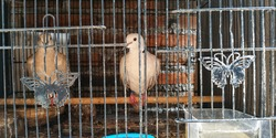 two turtledoves in a cage and noise