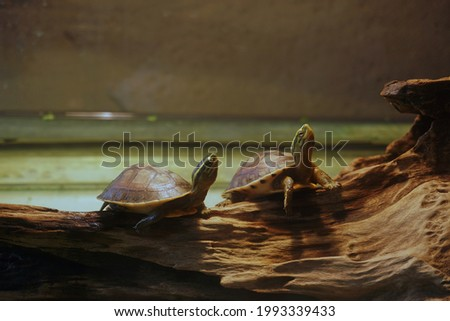 Two turtles are on a log in a glass cabinet under lights for selective focus and blurred background.Pets and hobby on the holiday. Stock fotó ©
